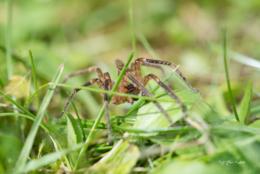 araignée herbe