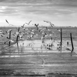vol de mouette sur jetée, arès, N&B, bassin arcachon, krystyne ramon