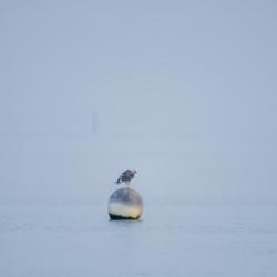 mouette sur un corp mort dans le brouillard, bassin arcachon, krystyne ramon